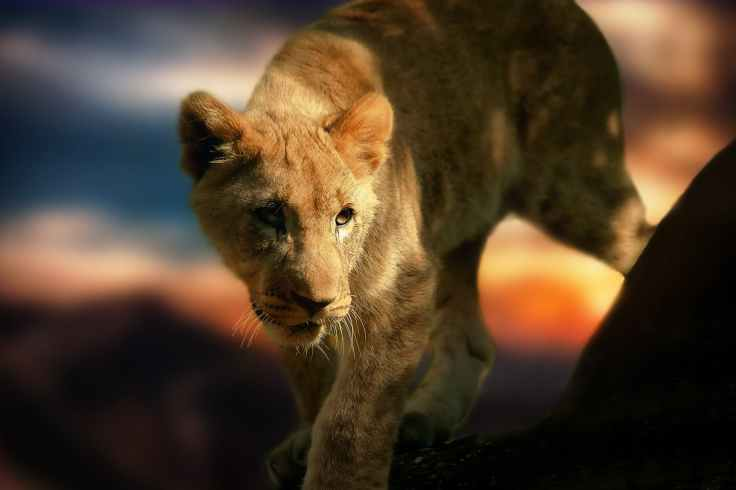 lion-cub-lion-africa-animal-39281.jpeg